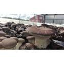 Fungo Cardoncello Pleurotus eryngii